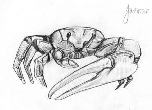 Fiddler crab sketch